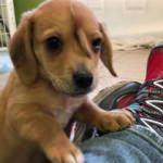 ABD'de sokakta bulunan köpeğin 2 kuyruğu var 1'i kafasında