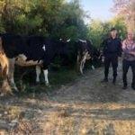 Merada kaybolan inekleri jandarma buldu