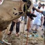 Hindistan'da ineğin dışkısıyla alakalı mide bulandıran karar