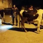 Sahibinin 'çalındı' dediği inekler bu halde bulundu