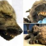 Köpek mi yoksa kurt mu? 18 bin yıl sonra sapasağlam olarak bulundu