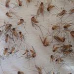 Uzmandan korkutan uyarı! Sivrisinek ısırığından ölmüştü