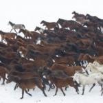 Kar üstünde özgürlüğün sembolü: Yılkı atları