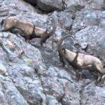 Yaban keçisi avlarken yakalandı, bedeli çok ağır oldu