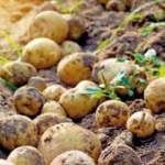 Patates üreticisini sevindirecek gelişme