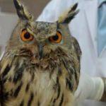 Bingöl'de nesli tehlikede puhu baykuşu bulundu