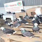 Minibüsten 235 güvercin çıktı