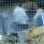Aksaray'da şaşkına çeviren olay! Ahırda maymun buldu