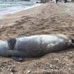 Antalya'da sahile vurdu! Nesli tehlike altında...