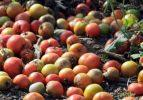 60 ton domates tarlada çürümeye bırakıldı