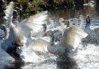 Kars'ın beyaz lezzeti: Kazlar kış için kurutuluyor