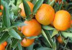 Adana narenciye üretiminden vazgeçiyor