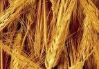 Arpa ve buğday hasatı başladı fiyatlar düşecek