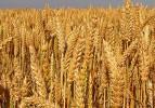 2 yılda üretilen buğday bir yılda çöpe gidiyor