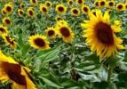 Yağlı tohumlar fark ödemesi için başvuru zamanı