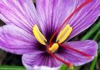 Dünyanın en pahalı bitkisinin hasadı yapıldı