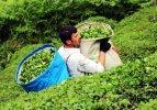 ÇAYKUR, haziran ayı yaş çay bedellerini ödedi