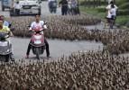 Kontrolden çıkan ördekler trafiği kapattı