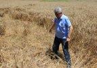Çiftçiye büyük afet: 50 bin ton buğdayı yediler