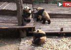 Pandalar birbiriyle fena kapıştı