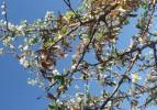 Sonbaharda çiçek açan erik ağacı şaşırttı