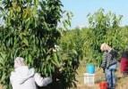 Türkiye'nin en büyük kiraz bahçesinde hasat