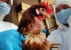 Türkiye'den tavuk ithalatını durdurdu