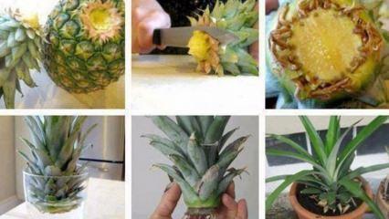 Evde ananas nasıl yetiştirilir?