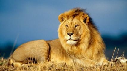 Rüyada aslan görmek nasıl yorumlanır? Rüyada aslan görmenin tabiri...