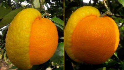 Gören şaşırıyor! Yarısı limon, yarısı portakal...