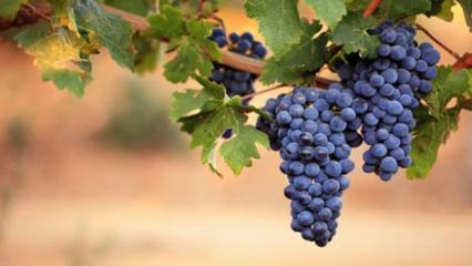 Siyah üzümün faydaları nelerdir? Hangi hastalıklara iyi gelir?