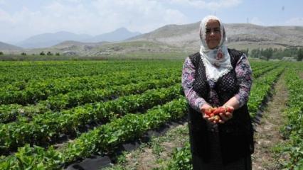 Patatesi bıraktı, günde bin 500 lira kazanıyor