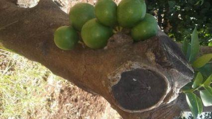 Ağaç gövdesinden çıktı... Görenler inanamadı