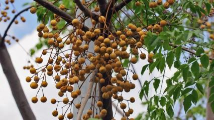 Tesbih ağacı yağının saça faydaları nelerdir? Nasıl kullanılır?
