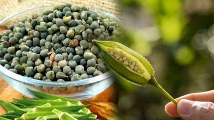 Bamya tohumunun faydaları ve kullanımı! Mucize Bamya tohumu ne işe yarar...