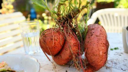 Tatlı patates suyunun faydaları nelerdir? Hangi hastalıklara iyi gelir?