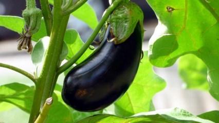 Patlıcan sapını sakın çöpe atmayın! Patlıcan sapının faydaları nelerdir?