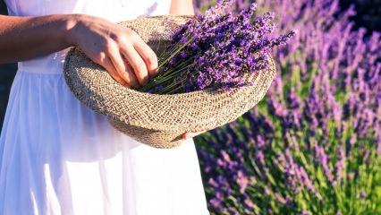 Lavanta çiçeği bakımı, çoğaltma ve evde nasıl yetiştirilir?