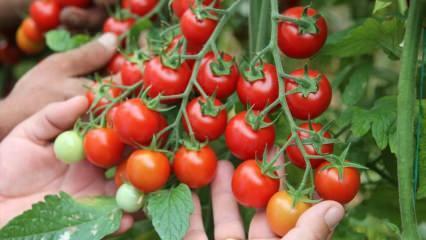Çiğ domatesin faydaları nelerdir? 7 gün boyunca domates yerseniz...