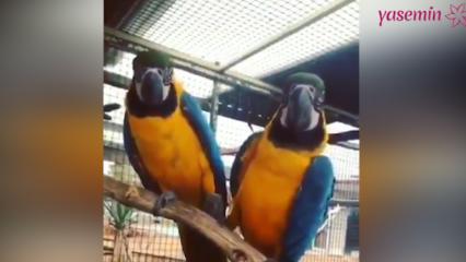 Papağanların romantik saniyeleri rekor kırdı