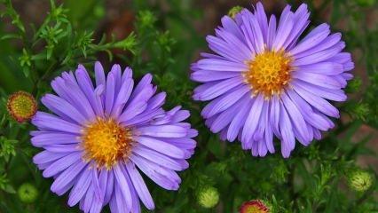 Aster çiçeği nasıl bakılır?