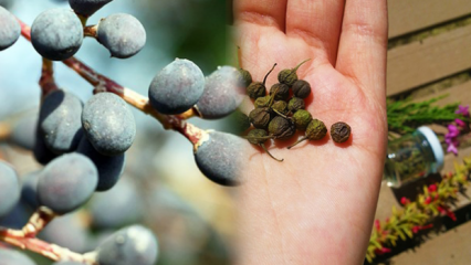 Acı çehre tohumu (otu) nedir, ne işe yarar? Acı çehre tohumu nasıl kullanılır?