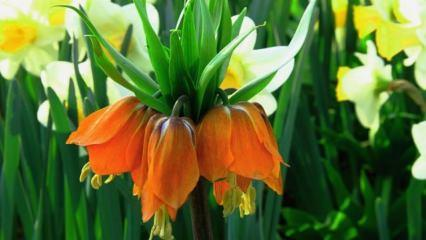 Ağlayan çiçeğin bakımı nasıl yapılır? Nasıl çiçeklenir?