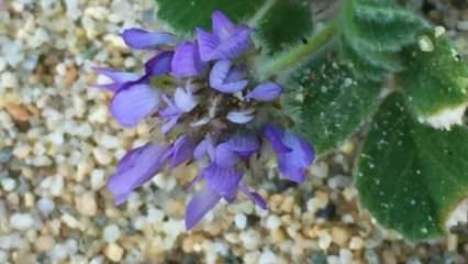 Ayvalık'ta yeni endemik bitki türü bulundu