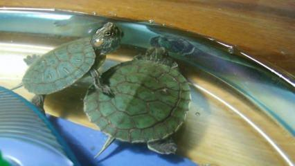Su kaplumbağası nasıl beslenir? Su kaplumbağasının bakımı