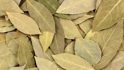 Defne yaprağının faydaları nelerdir? Defne yaprağı çayı ne işe yarar? Defne ve limon karışımı