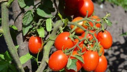 Saksıda domates nasıl yetiştirilir? En kolay domates yetiştirme