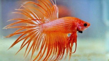 Beta balığının bakımı nasıl olur? Beta balığı hakkında bilgiler