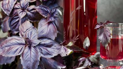 Reyhan bitkisinin faydaları nelerdir? Düzenli reyhan suyu tüketirseniz ne olur?