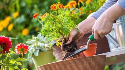 Sonbaharda hangi çiçekler beslenmelidir?
